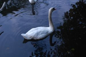 Stock 431 - Swan by pink-stock