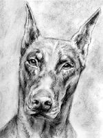 doberman sketch by lieff