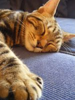 Sleeping Cat Sid by make-a-snappy