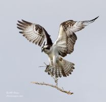 Osprey with building material by AForns