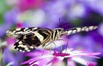 The African Swallowtail Part II by Glenn0o7