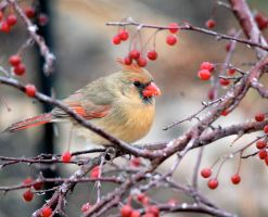 Female cardinal in a crab apple tree by MagicCometART
