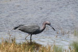 Little Blue Heron - Aransas Wildlife Refuge by Shadow848327