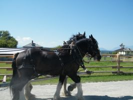 Horses Pull Cart Stock by DEAFHPN