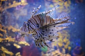 Lion Fish by LizLoz