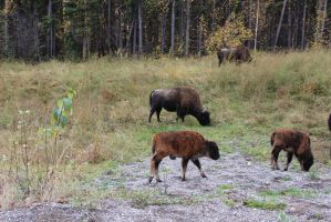 Herd and baby bison by xdancingintherain
