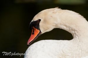 Swan by TWOphotography