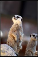 Meerkat by Gypsy-Girl