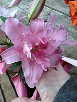 Pink Day Lillies by ninaloo1