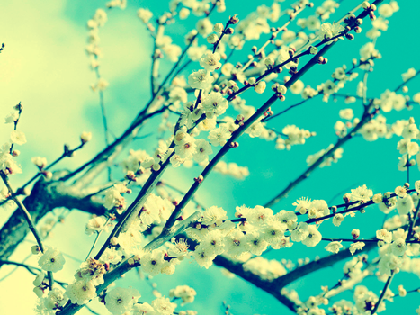 Blossoming cherry by g-lukas
