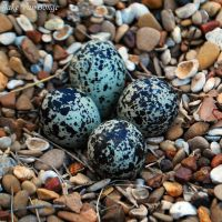 eggs in camo by SublimeBudd
