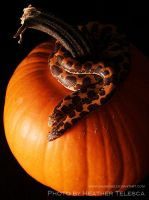 Snakes on a Pumpkin by HeatherTelesca