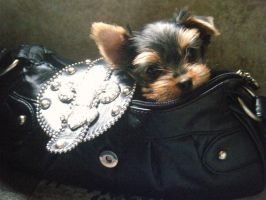 In My Home. by Show-us-Yorkies