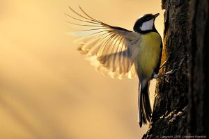Parus major - Great tit by proac150