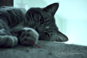 """my cat """"Scout"""" by PrestigeGraphics"""