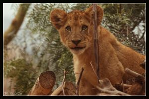 Little Lion Tongue by shutterbugmom