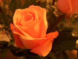 Roses-1 by stock-it
