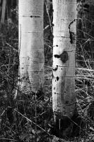 Aspens Quakin' Black and Whit by houstonryan
