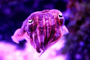 Cuttlefish by TPextonPhotography