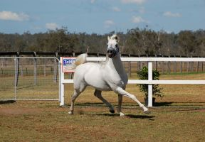 GE Arab white big leg extension trot front 3/4 by Chunga-Stock