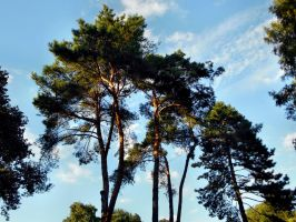 Old Pine trees by Finnyanne