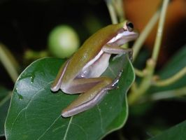Tree frog2 by mylivingphotography