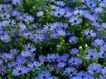 Glorious Asters by Hunter-Arkaman