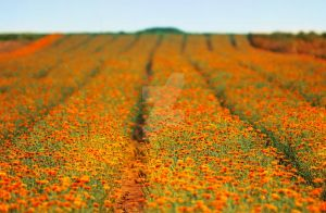Orange field by ssuunnddeeww