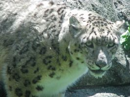 Snow Leopard Stock 12 by HOTNStock