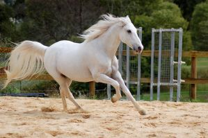 Arabian tail splayed canter by Chunga-Stock