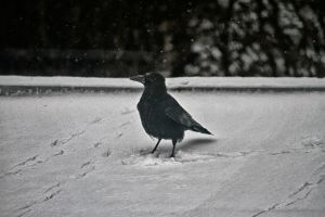 raven in the snow by Tjabula
