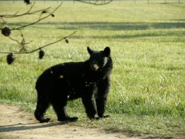 black bear 2 by redtailhawker