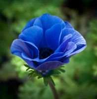 Blue Anemone by Carise