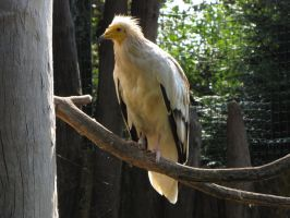 Egyptian Vulture 01 by animalphotos