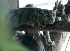 Animals - Clouded Leopard 2 by MoonsongStock