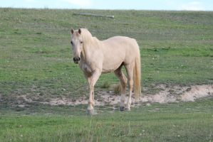 Palomino Stallion 3 by How-You-Remind-Me