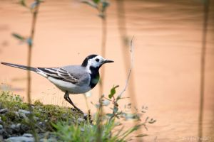 White wagtail II by Dragos06