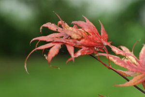 Red Leaves by Stichflamme-Stock