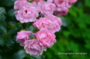 rose by photography-hotaroxx