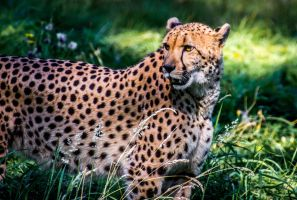 Cheetah 2 by nigel3