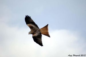 Red Kite by aggz-w