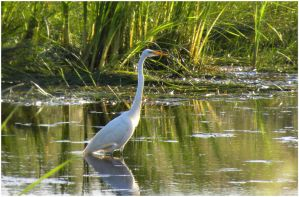 Great Egret 2010 by SuicideBySafetyPin