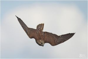 2011-46 Diving Saker by W0LLE