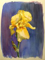 Yellow Iris by CaptainJoellie