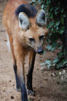Maned Wolf 3 by keaworks