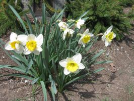 the clump of Daffs by crazygardener