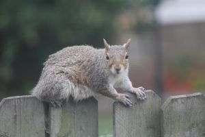 Squirrel on Fence by demboys18
