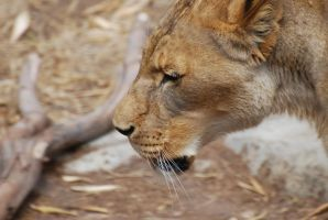 San Diego Zoo - Transvaal Lion by S-tygian