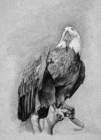 Eagle Drawing by stevegoad