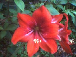 Red Amaryllis  1 by KnK-stock